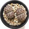 リトープス 雀卵玉