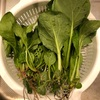 初心者の家庭菜園 小松菜とほうれん草を収穫しました