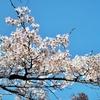 桜の誘惑にはコロナの自粛も勝てぬ...な、小金井公園の桜
