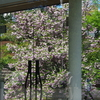 尾山神社の兼六園菊桜