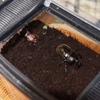 カブトムシ孵る