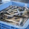 2020年3月24日 小浜漁港 お魚情報