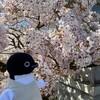 桜が満開!今年のお花見は水間寺に行こう(314)