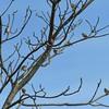ニュウナイスズメがセンダンの木に