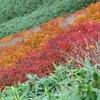 常緑の葉の中の紅葉と黄葉。