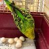 卵を産み続けるセキセイインコのウタちゃん。