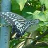 生活   癒しと蝶。