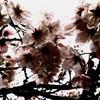 ドーナツの向こうの桜雨