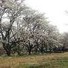 新居(建設中)の桜を見てきました