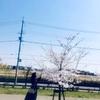 桜を愛でる期間。