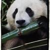 【Giant Panda】