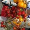 ミニトマトの本格的収穫🍅88個