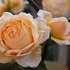 2019年春のアンブリッジ・ローズAmbridge Rose