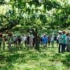 3年生 梨の「摘果」