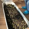 サラダ菜の種まきしたら芽が出ました