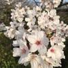 シツコイくらいの桜花見^_^