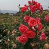 大野町バラ公園へ行ったが花の盛りには少し遅かった