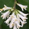 白い花の木々