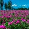 【撮影記録】秩父・羊山公園に芝桜を見に行ってきた話|EOS 8000Dを携えて