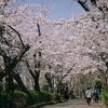 砂町緑道公園の桜