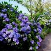 【下田公園】どこまでも紫陽花、まるで紫陽花のラビリンス。一面に咲く紫陽花が、息をのむほど美しかった