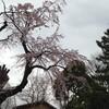 桜 〜水元公園〜