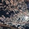 【夜桜】桜満開でした