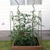トマトの成長がすごいです