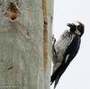 ベリーズ 電柱の Acorn Woodpecker (エイコーン ウッドペッカー)