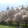 ブロッコリーの天ぷらに絶望を覚えた時、あなたは本当の在米日本人になる(&シアトルの見事な桜桜桜)