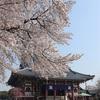 多摩川桜百景 -5. 池上本門寺・本門寺公園-