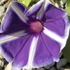 アサガオが今年二つ目が咲きました。