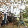 台風で傾いたクヌギを伐木