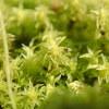 ハマキゴケを疑う蘚類