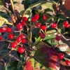 ハクサンボクの赤い実