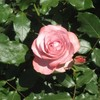 砧公園のバラ