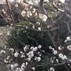 3-299   梅…昨年よりも早い開花です。