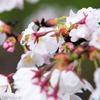 岐阜県各務原市の新境川堤の桜並木は、桜好きも撮り鉄も楽しめる!