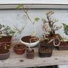 盆栽の植え替え 季節