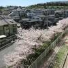 満開 華やかな桜
