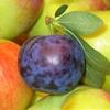 【追熟】酸っぱいプルーンは常温放置で甘くなる!