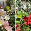 ボケ(木瓜) ウメの花,アンズの花が終わって,花木としてはボケが我が家の主役.花の美しさでは,どの花にも負けない.しかし,名前のせいでしょか,美しさの割には話題になることは少ないように思います.英語では,マルメロ(quince)の一種という位置づけの名前で呼ばれるようで,the flowering quince(花マルメロ),Chinese quince(中国マルメロ),Japanese quince(日本マルメロ).系統樹的にもマルメロと近縁ですが,リンゴともかなり近い位置に.