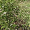 「マダム倶楽部」活動報告 コスモスの開花状況を偵察に行ったら、思いがけない花が咲いててビックリ 9月13日