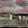 赤塚山公園 梅まつり 2014 豊川