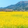 【新潟写真】上堰潟公園の「菜の花」 初PLフィルター 2020年4月4日