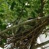 ハトのヒナは警戒心が低く音に鈍感。ヒナ誕生5~6日目にして親ハトは長時間離れる。