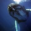 日本の捕鯨はクジラ保全の最大の脅威ではないとの研究(米国研究者)