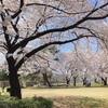 桜、桜、桜♪~日中編~