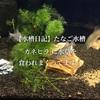 【水槽日記】たなご水槽‥カネヒラ に水草を食われまくってます。