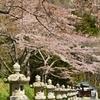 三つの桜そろい咲き  函館八幡宮…